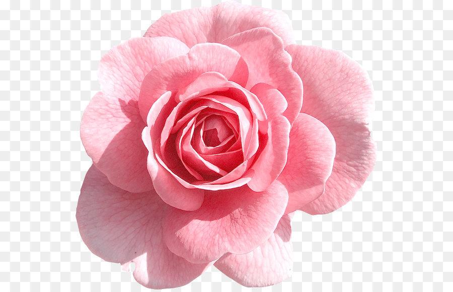 Descarga gratuita de Rosa, Gratis, Flor imágenes PNG