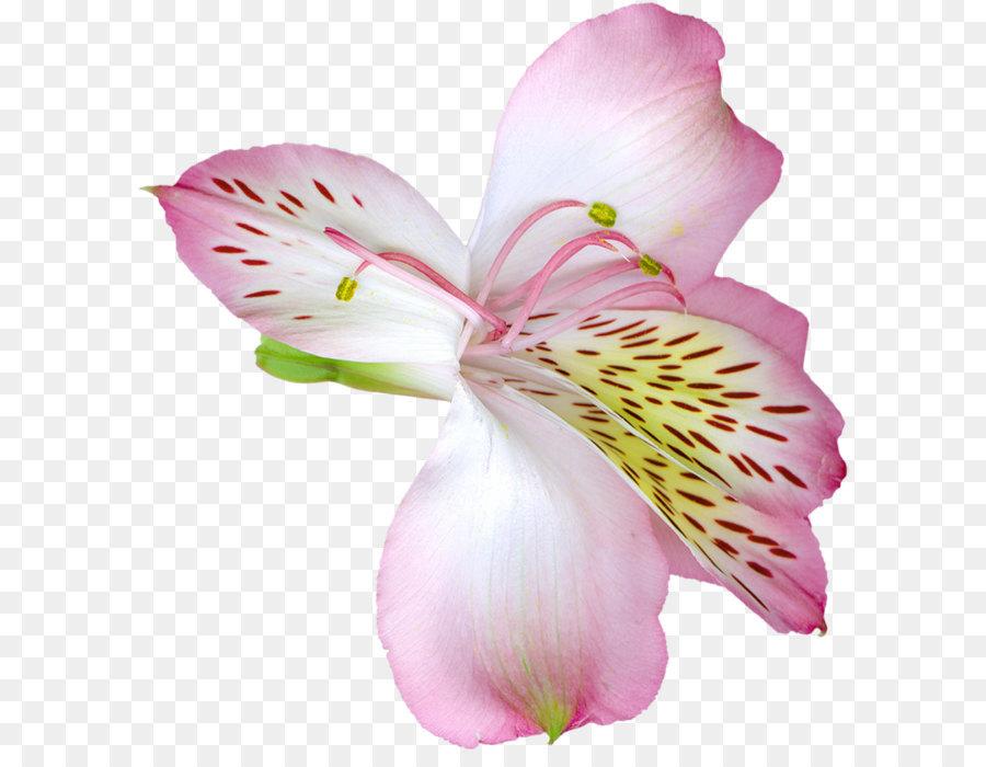Descarga gratuita de Tiger Lily, Flor, Rosa imágenes PNG