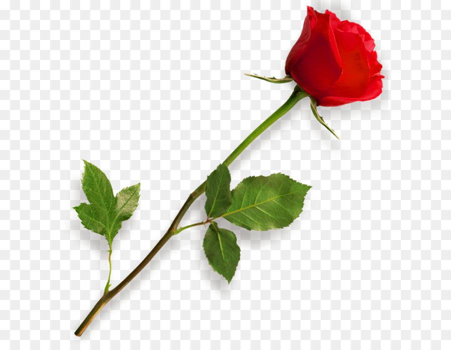 Descarga gratuita de Rosa, Presentación, Color imágenes PNG