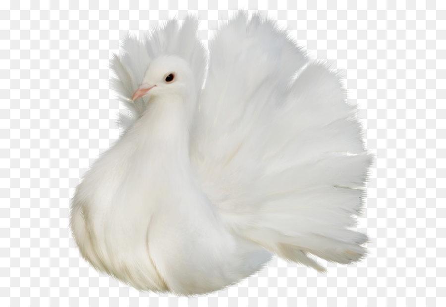 Descarga gratuita de Aves, Columbidae, Pluma imágenes PNG