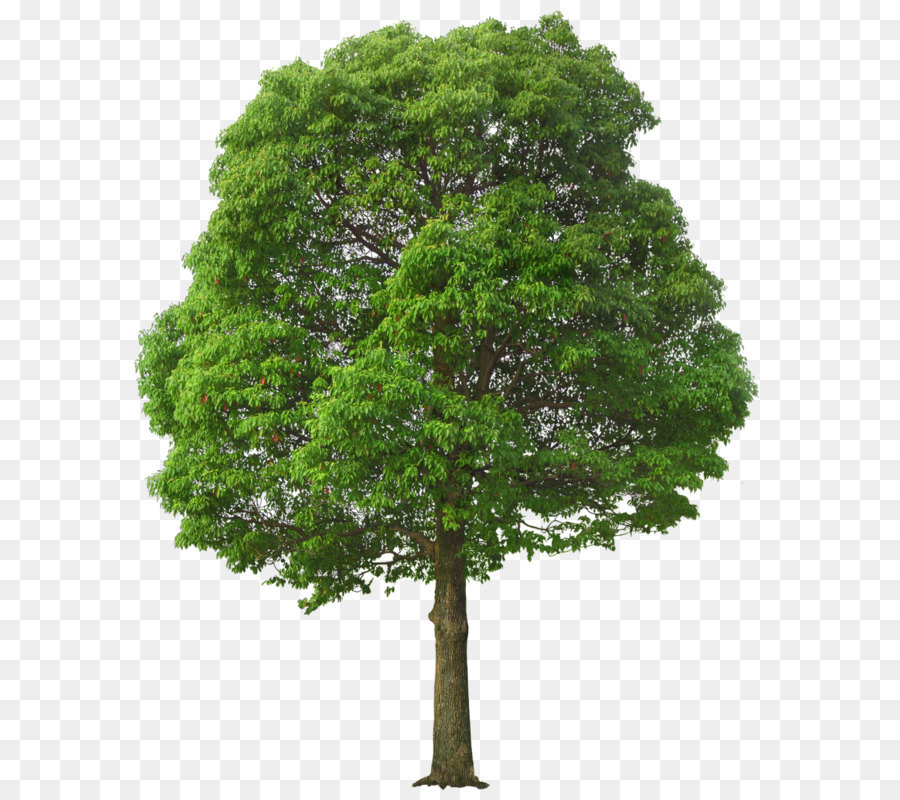 Descarga gratuita de árbol, Descargar, Pino imágenes PNG