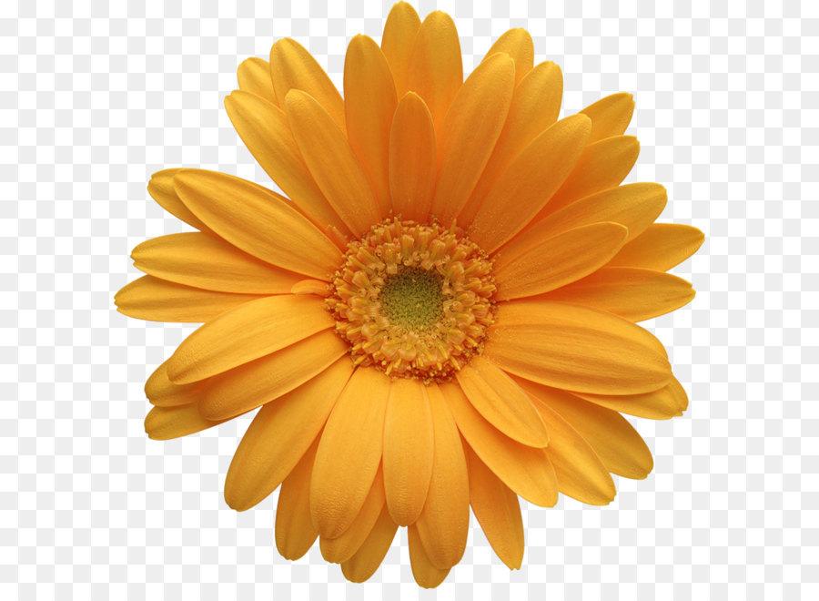 Descarga gratuita de Flor, Transvaal Daisy, Naranja Imágen de Png
