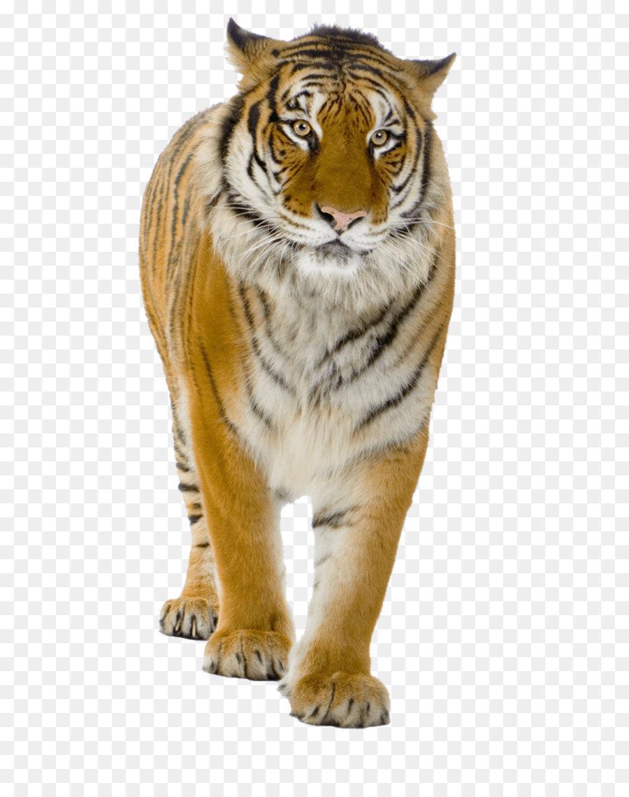 Descarga gratuita de Tigre, León, Descargar Imágen de Png