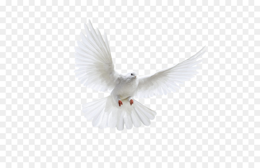 Descarga gratuita de Aves, Columbidae, Las Gaviotas Imágen de Png