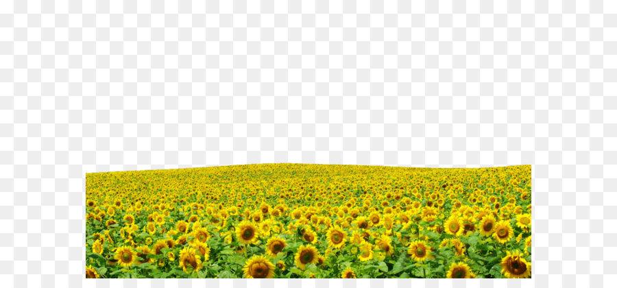 Descarga gratuita de Común De Girasol, Amarillo, Girasol Imágen de Png