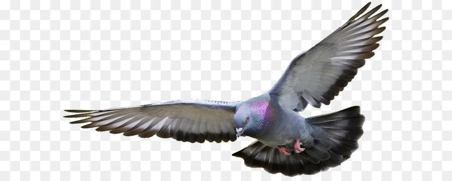Descarga gratuita de Columbidae, Aves, Las Gaviotas Imágen de Png