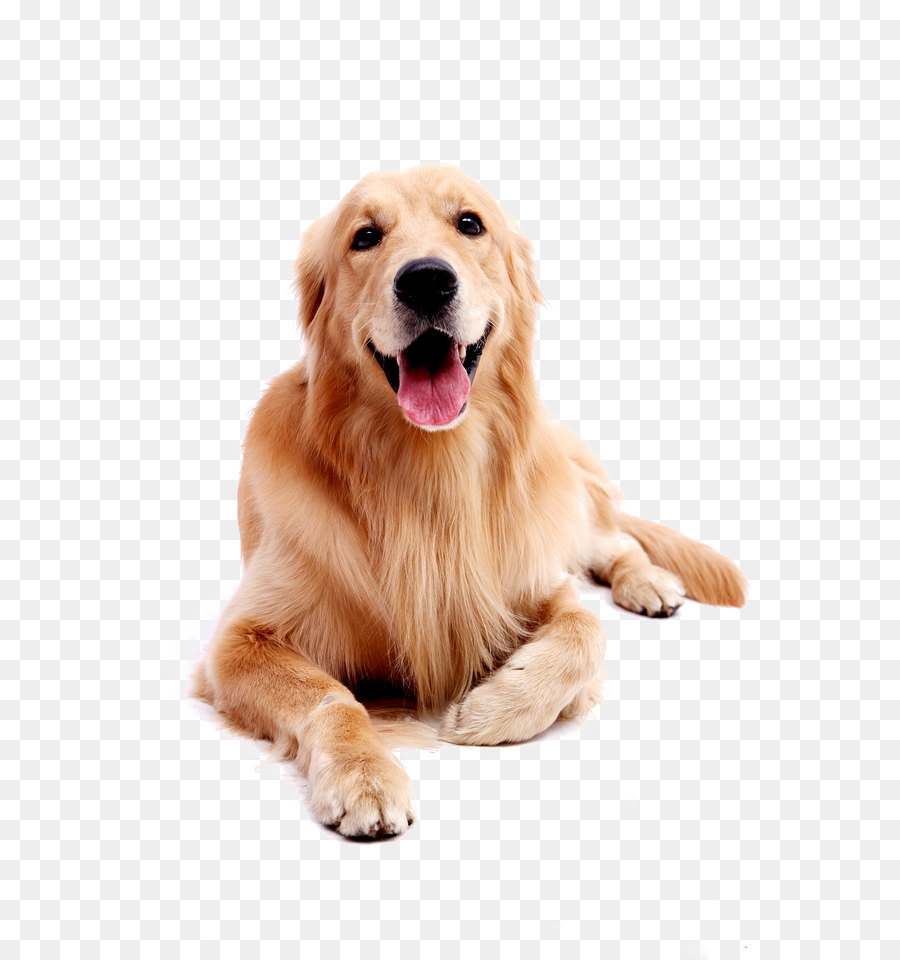 Descarga gratuita de Pug, Golden Retriever, Labrador Retriever imágenes PNG