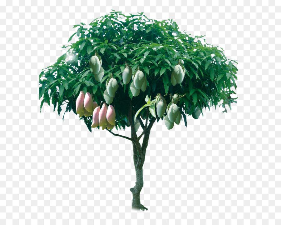 Descarga gratuita de Jugo, Mangifera Indica, árbol Imágen de Png