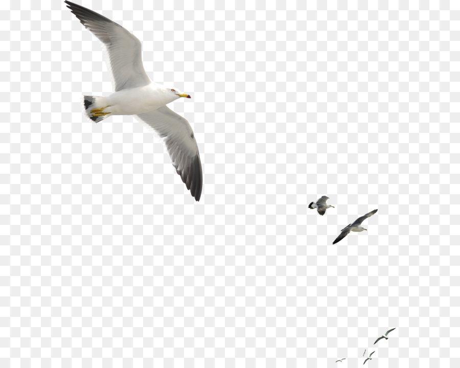Descarga gratuita de Aves, Las Gaviotas, Común Gaviota Imágen de Png