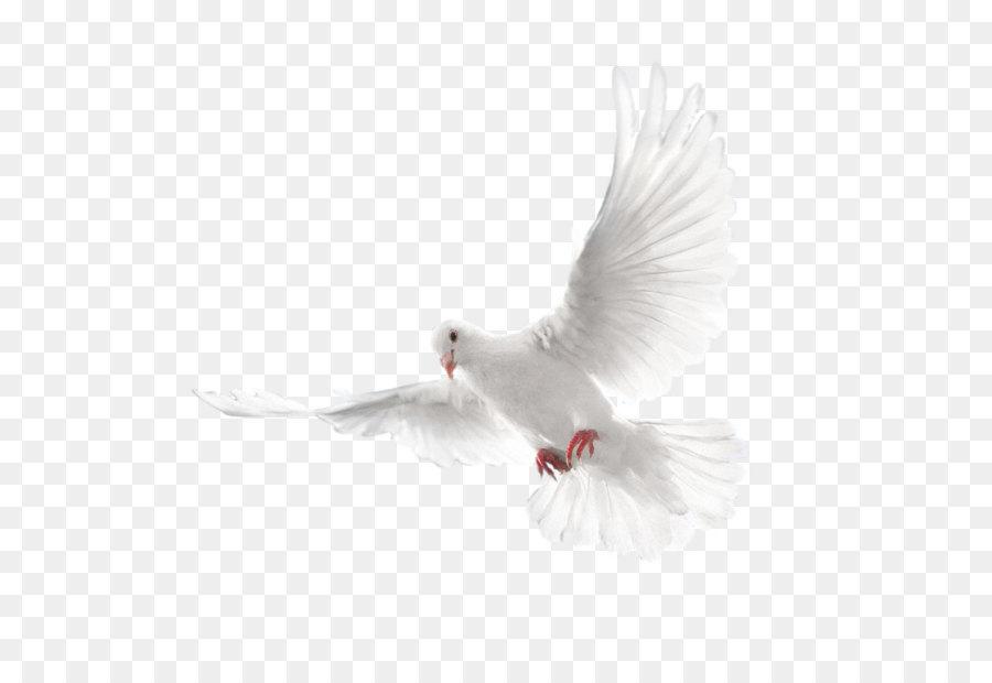 Descarga gratuita de Columbidae, Aves, Mundo Imágen de Png