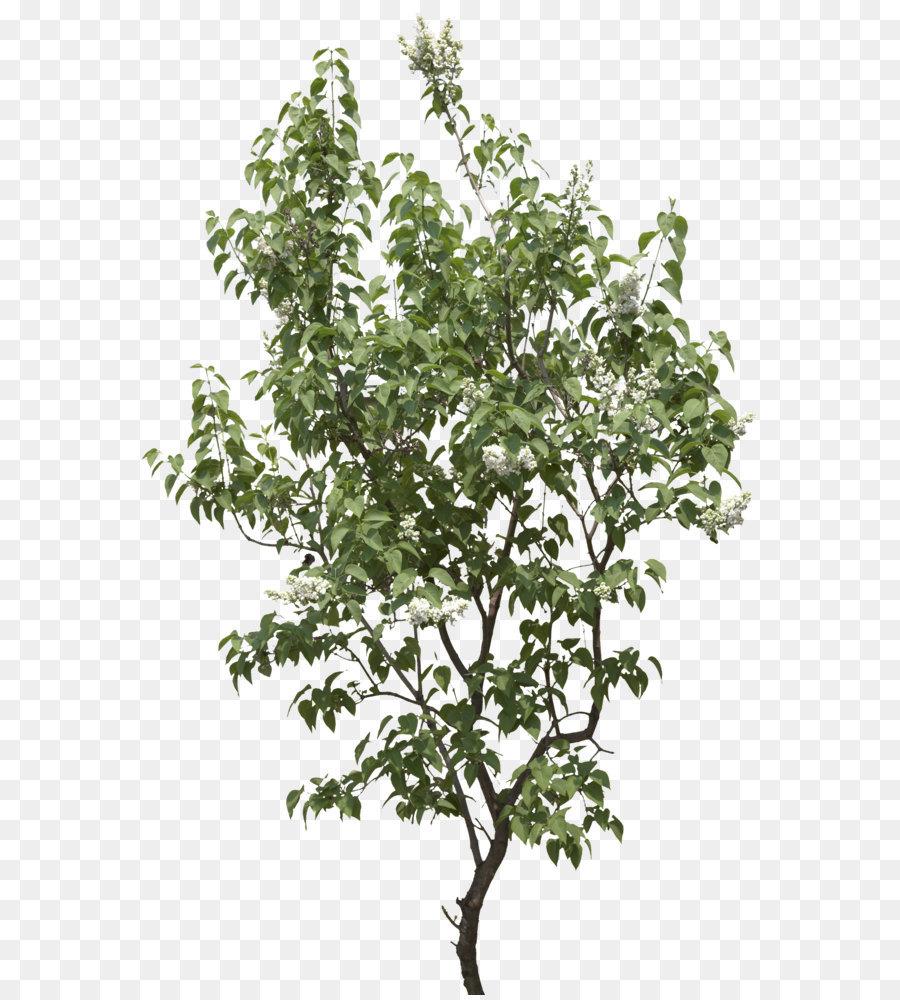 Descarga gratuita de árbol, Descargar, Cottonwood Imágen de Png