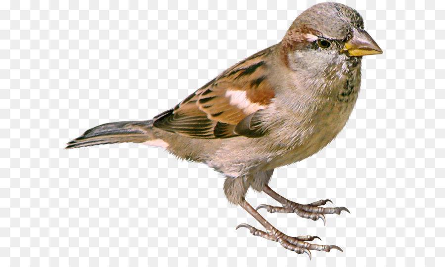Descarga gratuita de Gorrión, Aves, Descargar imágenes PNG
