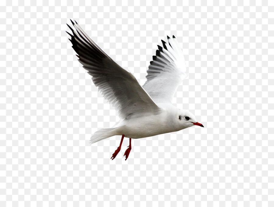 Descarga gratuita de Aves, Las Gaviotas, Gráfico Imágen de Png