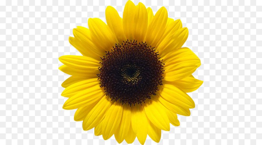 Descarga gratuita de Común De Girasol, Aceite, Flor Imágen de Png