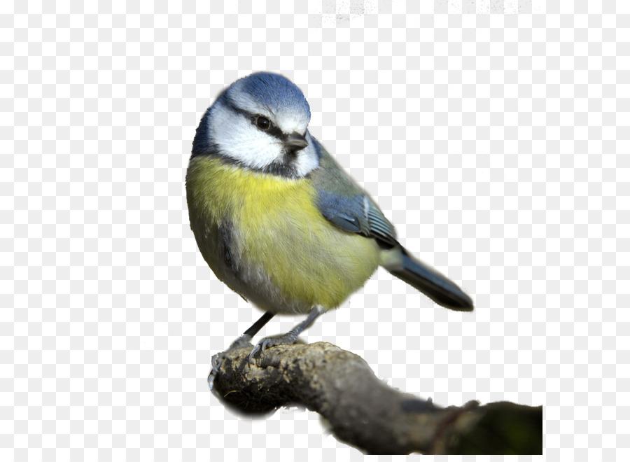 Descarga gratuita de Aves, Europea Robin, Songbird imágenes PNG
