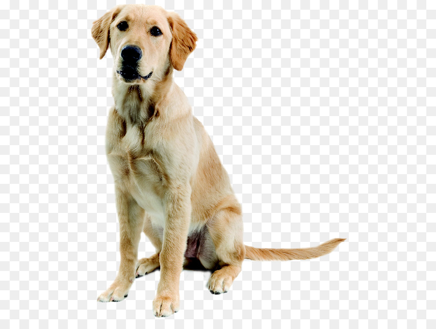 Descarga gratuita de Labrador Retriever, Golden Retriever, Gran Pirineos imágenes PNG