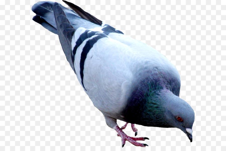 Descarga gratuita de Orientalrodillo, Aves, Pichón imágenes PNG