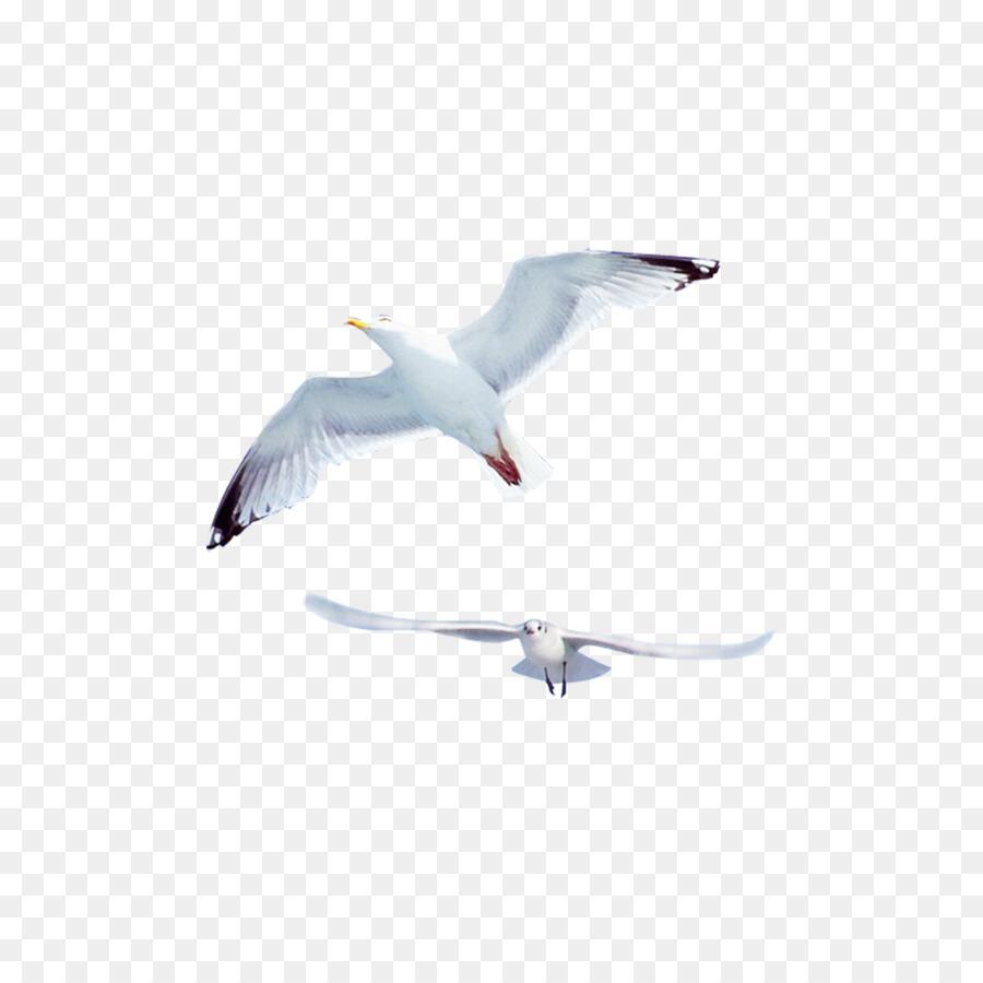 Descarga gratuita de Las Gaviotas, Pájaro, Común Gaviota Imágen de Png