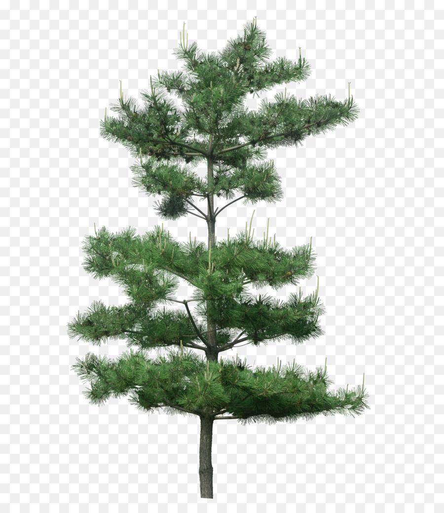 Descarga gratuita de árbol, Pino, Ciprés Mediterráneo Imágen de Png