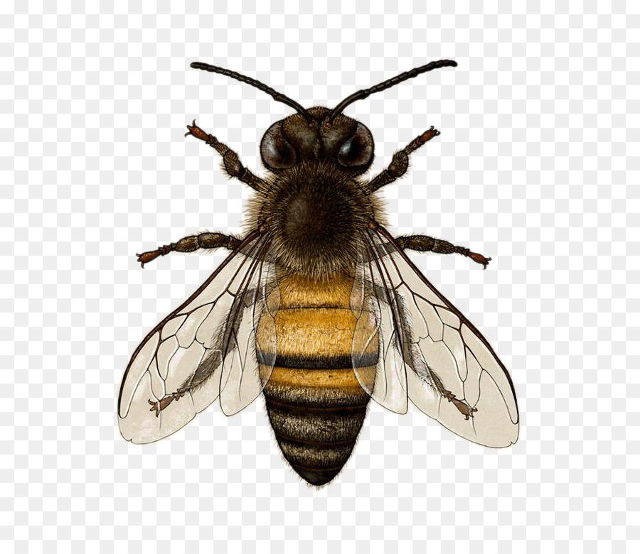 Descarga gratuita de Abeja, Los Insectos, Dibujo Imágen de Png