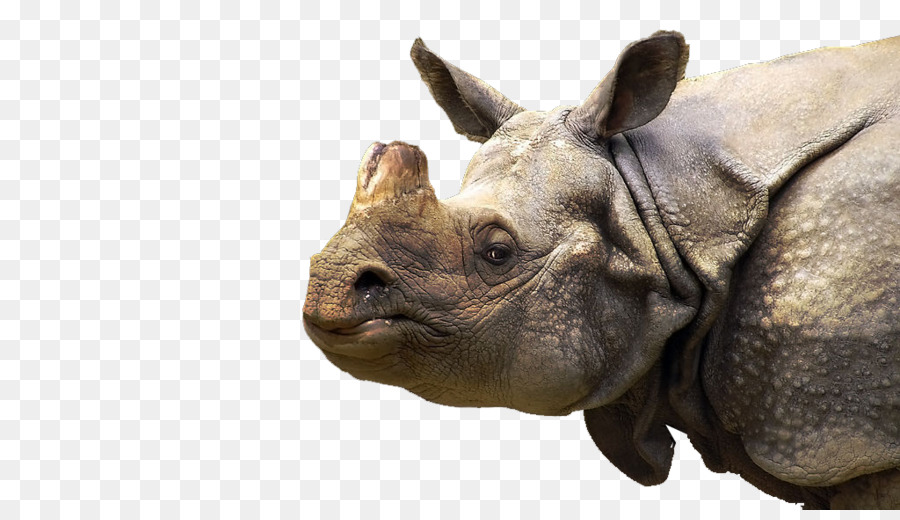 Descarga gratuita de Cuerno, Rinoceronte Blanco, Sumatra imágenes PNG
