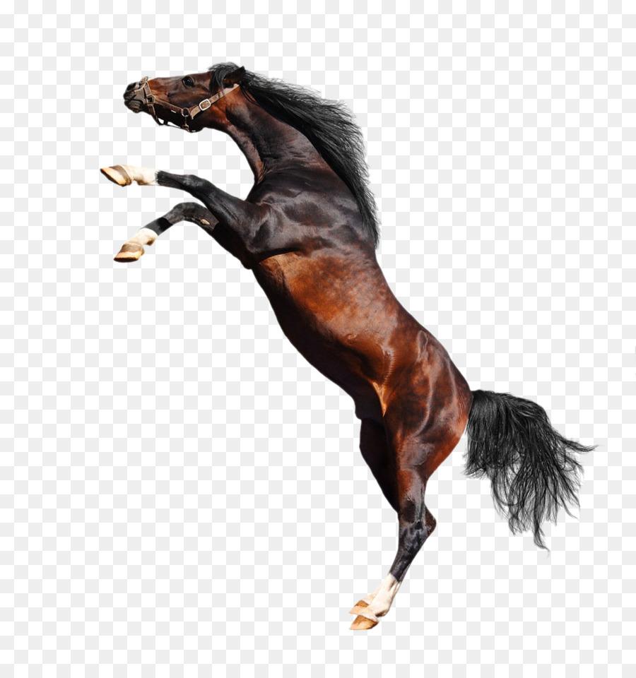 Descarga gratuita de Caballo árabe, American Paint Horse, Percheron imágenes PNG