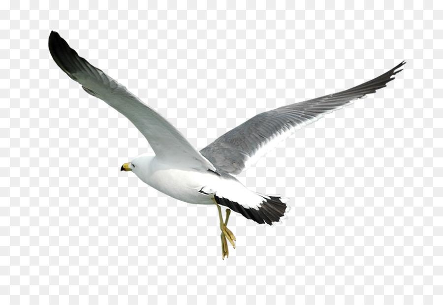Descarga gratuita de Pájaro, Laridae, Común Gaviota Imágen de Png