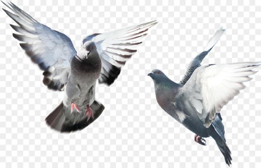 Descarga gratuita de Paloma Nacional, De Lujo De La Paloma, Pájaro imágenes PNG