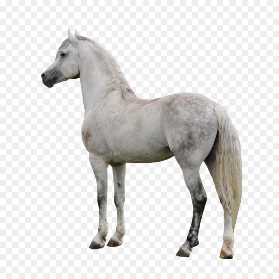 Descarga gratuita de Caballo árabe, Appaloosa, American Paint Horse imágenes PNG