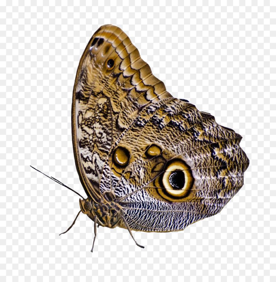 Descarga gratuita de La Polilla, Mariposa, Los Insectos imágenes PNG