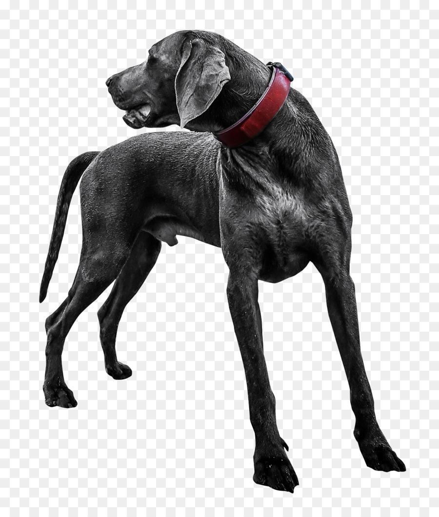 Descarga gratuita de Labrador Retriever, Weimaraner, Cachorro imágenes PNG