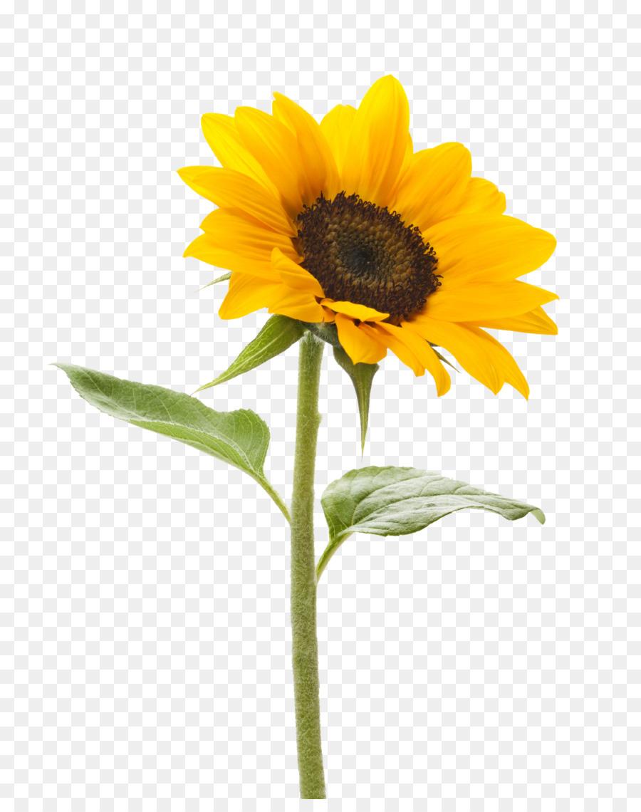 Descarga gratuita de Común De Girasol, Una Fotografía De Stock, Flor Imágen de Png