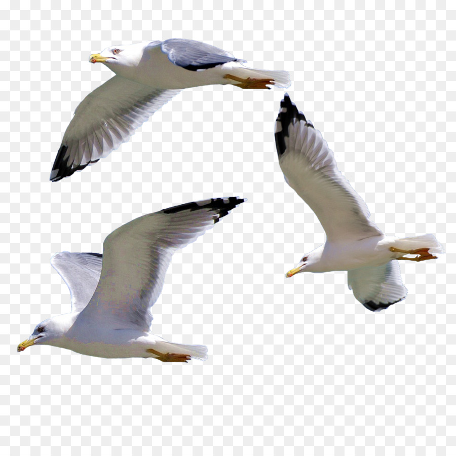 Descarga gratuita de Pájaro, Europea De La Gaviota, Las Gaviotas imágenes PNG
