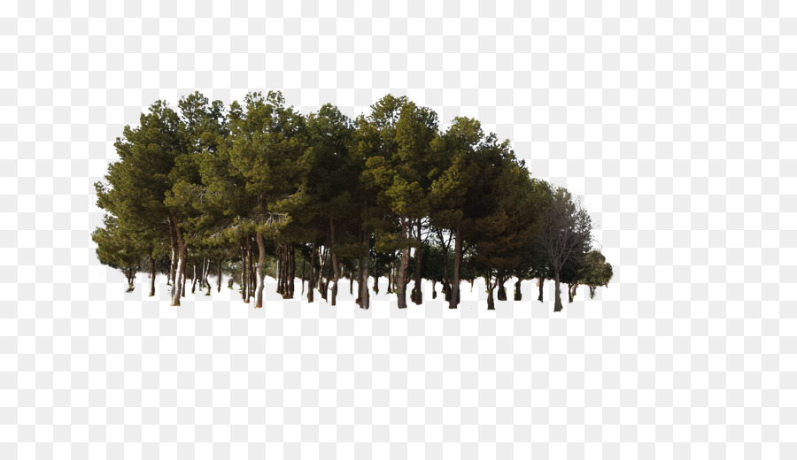 Descarga gratuita de Pino, árbol, Bosque Imágen de Png