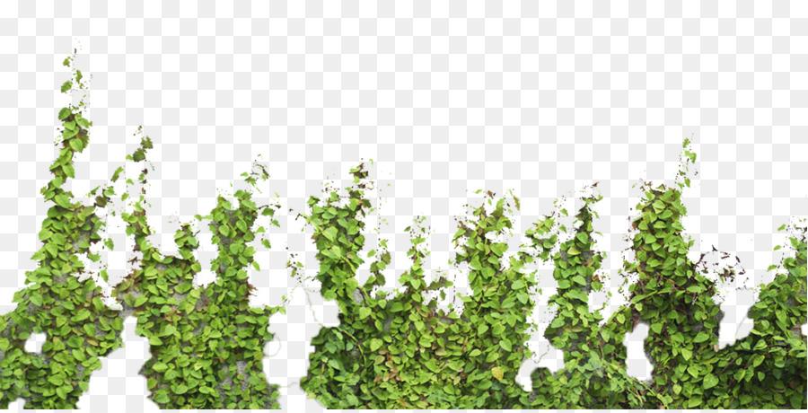Descarga gratuita de árbol, Parthenocissus Tricuspidata, Postscript Encapsulado Imágen de Png