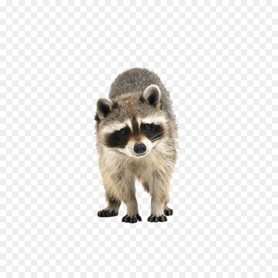 Descarga gratuita de Mapache, La Lindura, Animal Imágen de Png