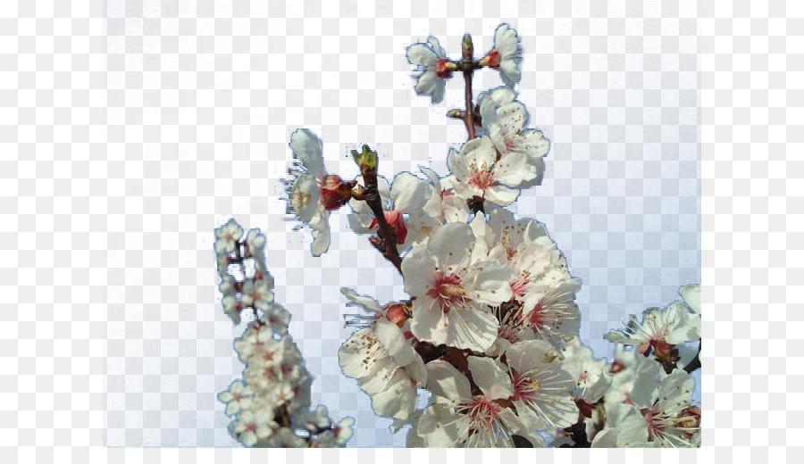 Descarga gratuita de Flor, Albaricoque, Ciruela imágenes PNG
