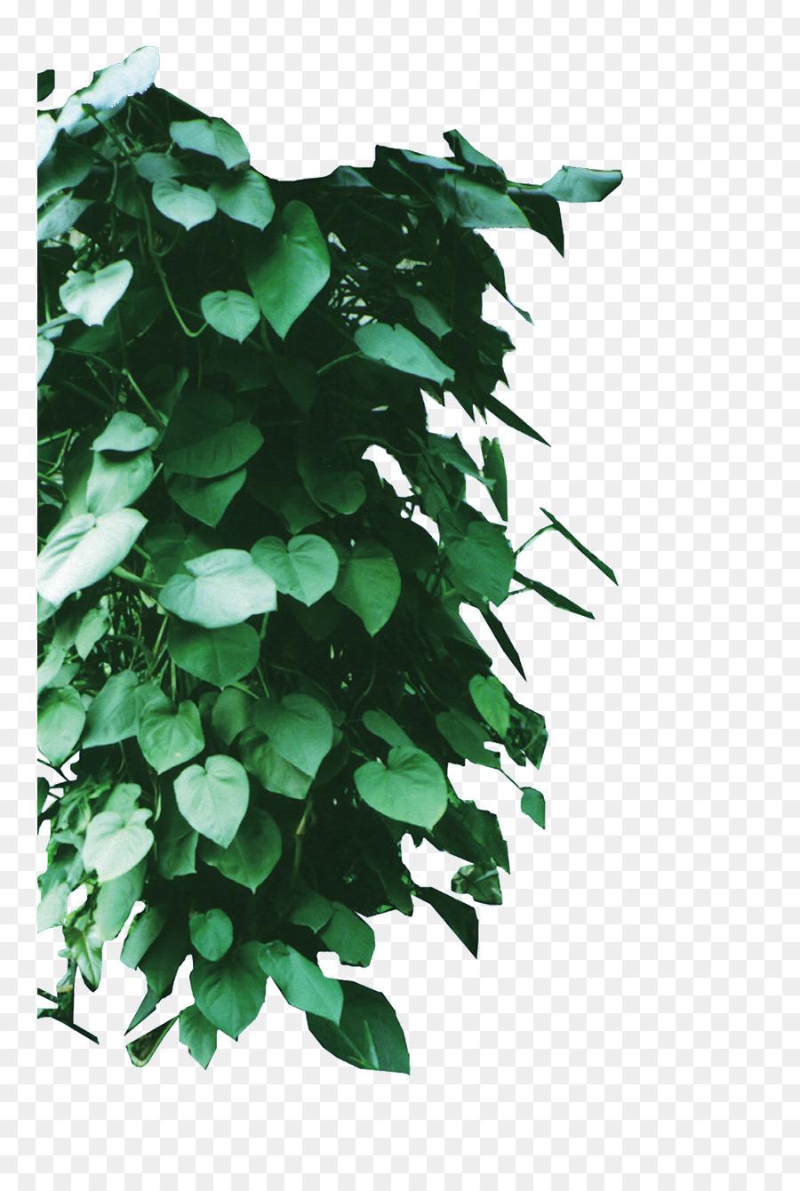 Descarga gratuita de Vid, Descargar, Parthenocissus Tricuspidata Imágen de Png