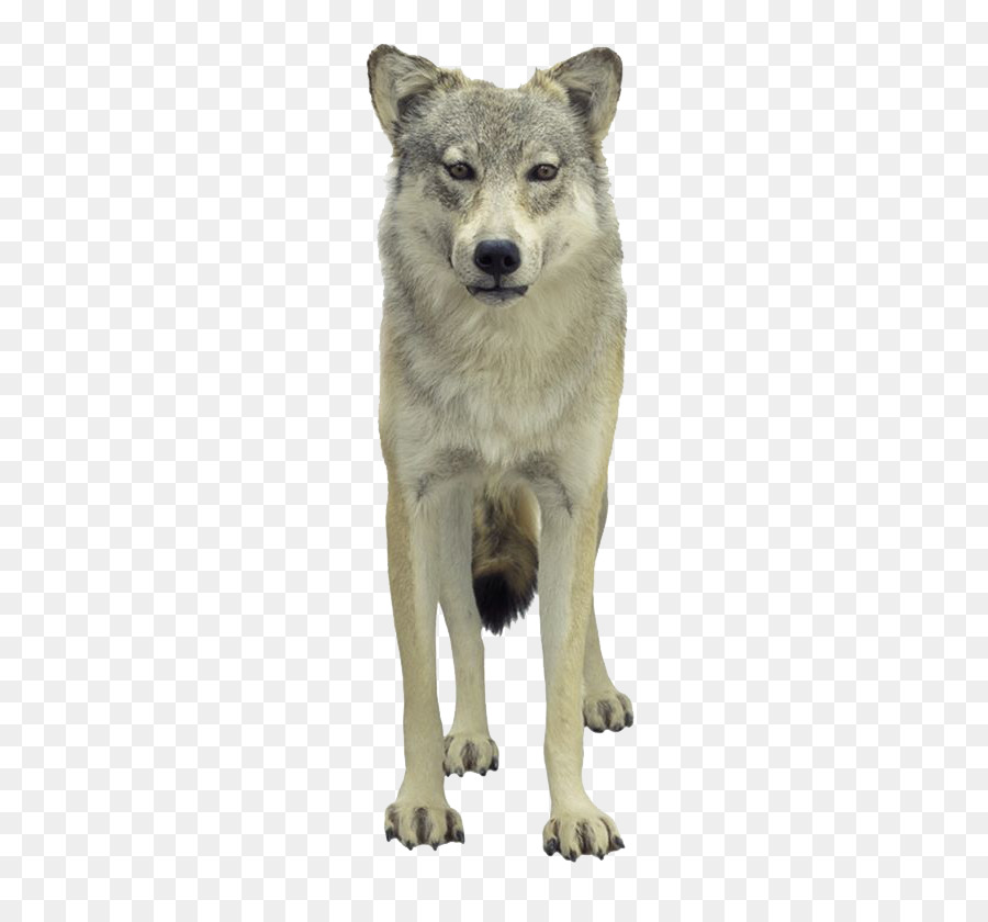 Descarga gratuita de Lobo De La Tundra, Loup, Póster Imágen de Png