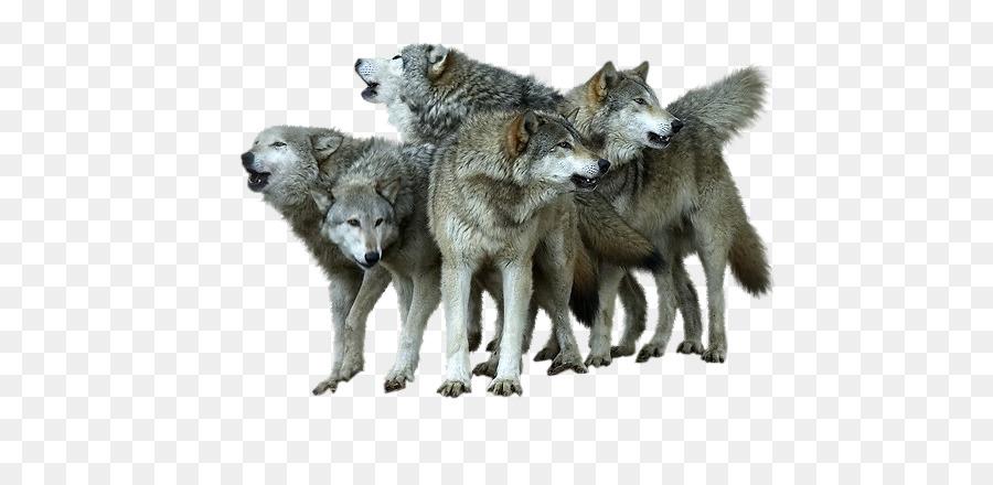 Descarga gratuita de Coyote, Wolfdog, Pack imágenes PNG