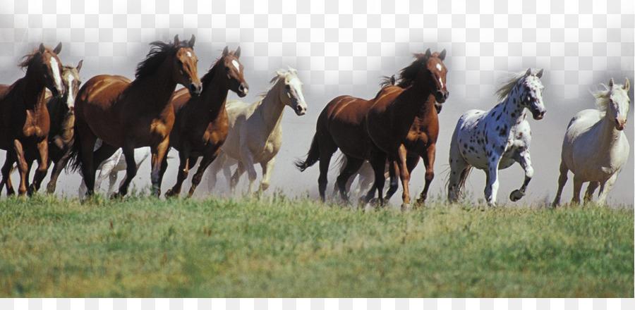 Descarga gratuita de Mustang, American Quarter Horse, Caballo árabe imágenes PNG
