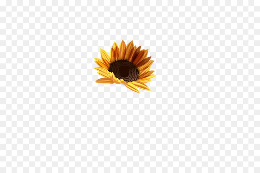 Descarga gratuita de Común De Girasol, Crisantemo, Flor Imágen de Png