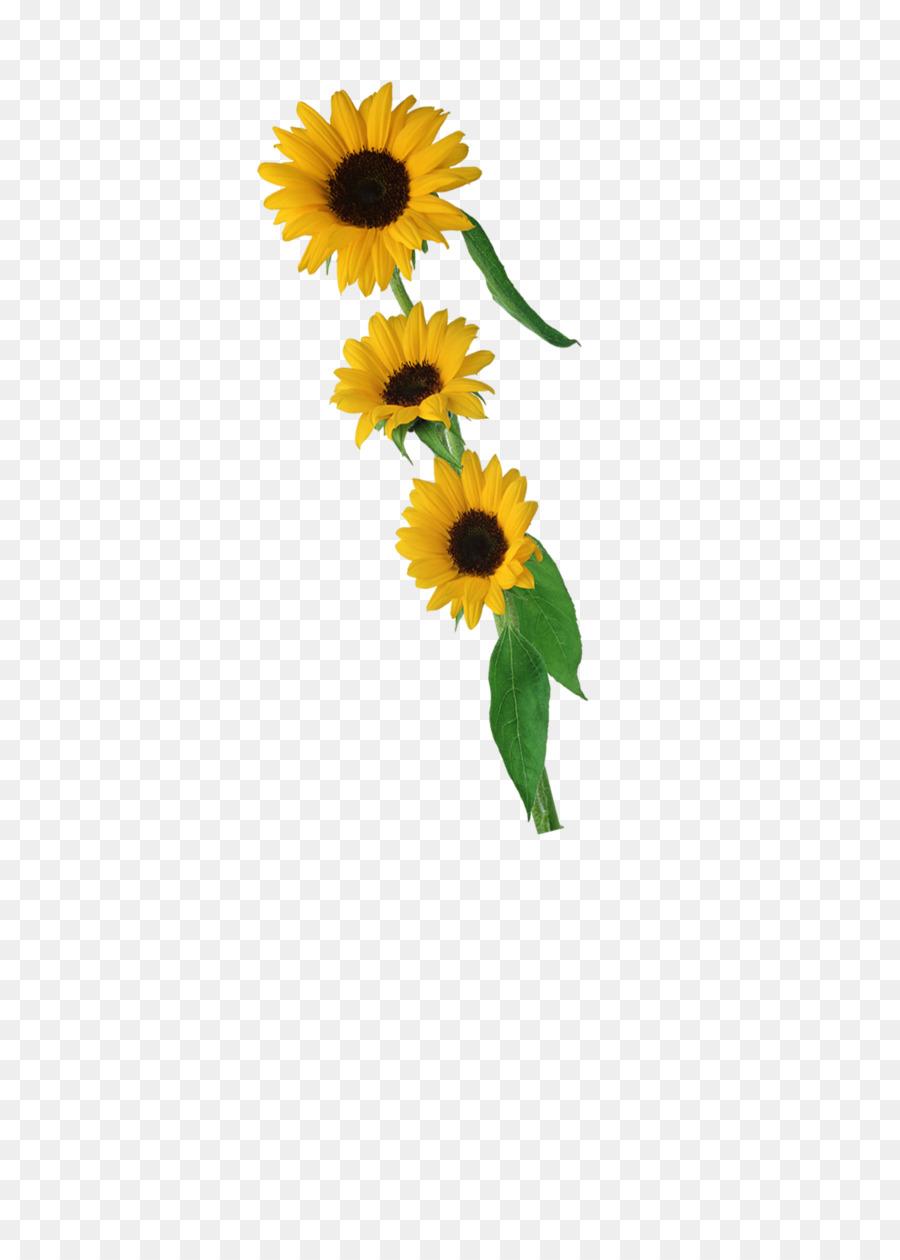 Descarga gratuita de Común De Girasol, Pétalo, Flor Imágen de Png