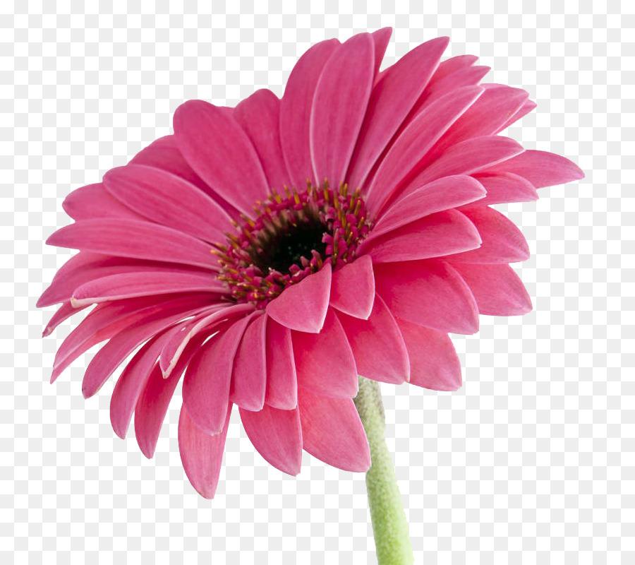Descarga gratuita de Transvaal Daisy, Rosa, Una Fotografía De Stock imágenes PNG