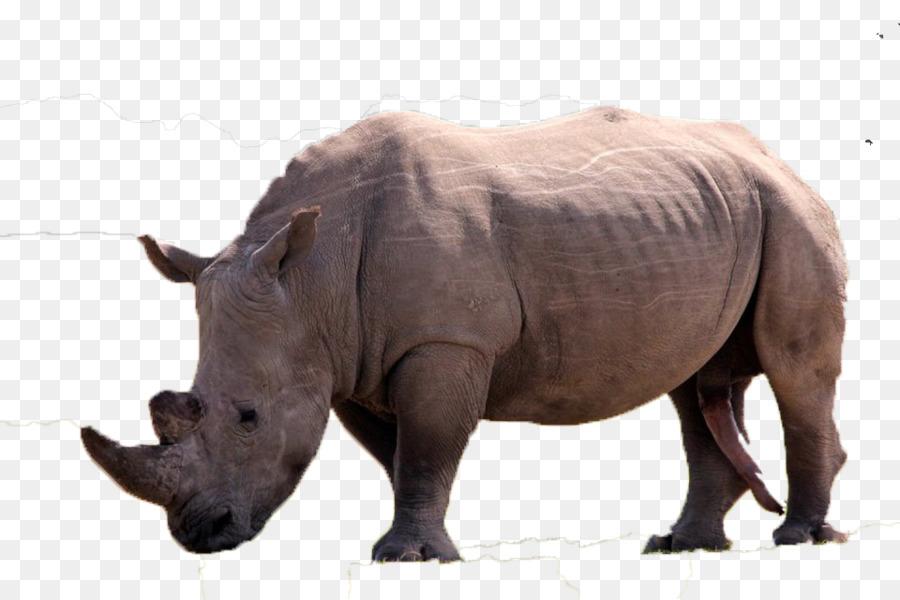 Descarga gratuita de El Rinoceronte, Cuerno, Rinoceronte Blanco imágenes PNG