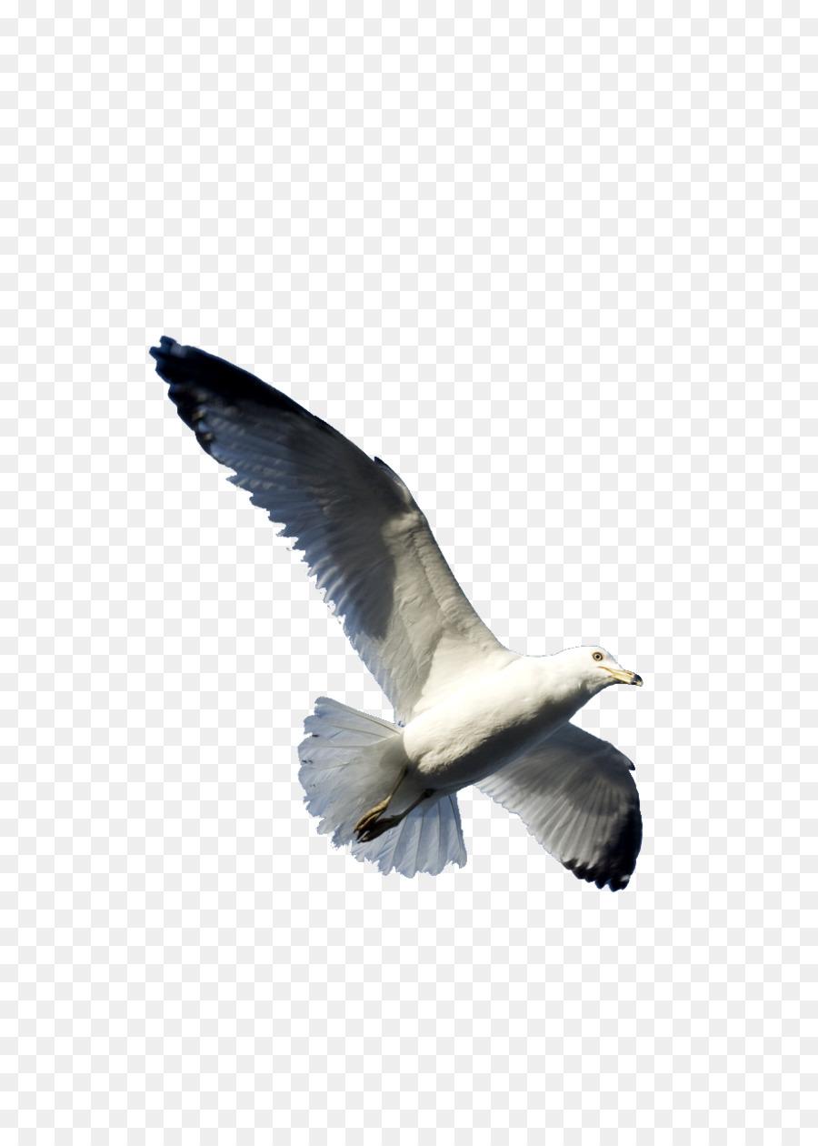 Descarga gratuita de Las Gaviotas, Pájaro, Vuelo imágenes PNG