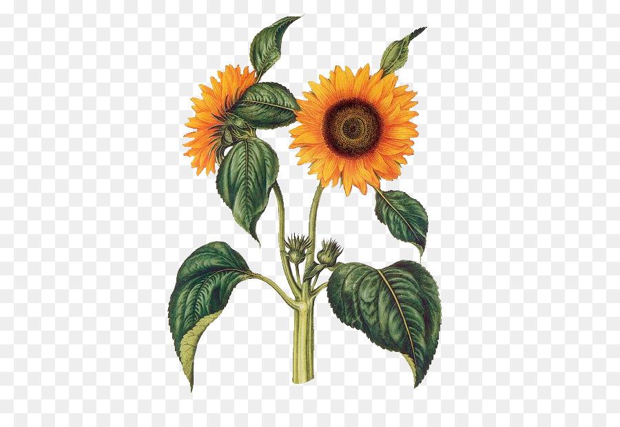 Descarga gratuita de Común De Girasol, La Botánica, Ilustración Botánica Imágen de Png