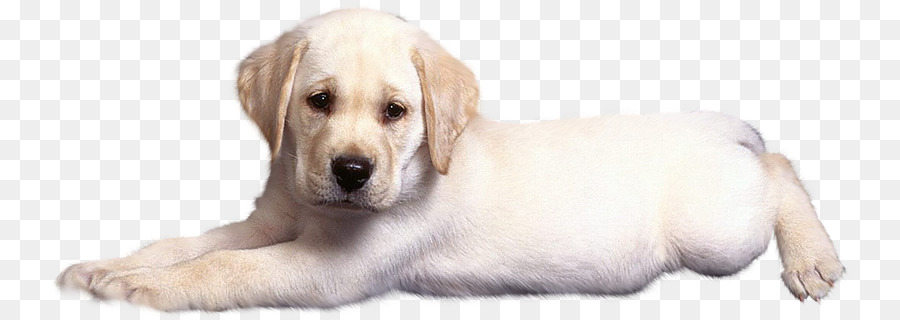 Descarga gratuita de Labrador Retriever, Golden Retriever, Cachorro imágenes PNG