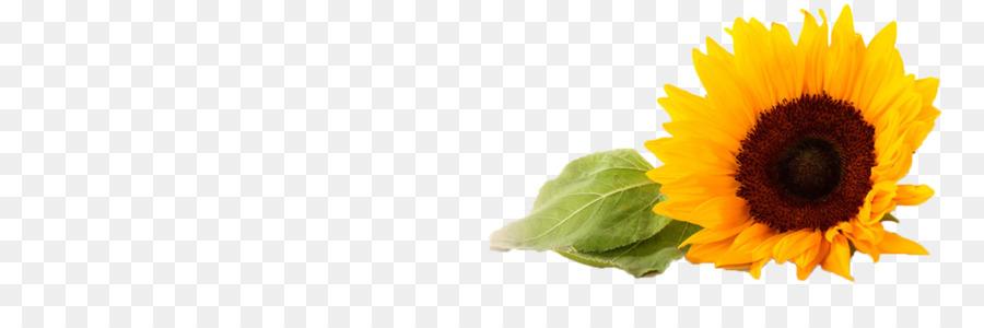 Descarga gratuita de Común De Girasol, Flor, Gratis Imágen de Png