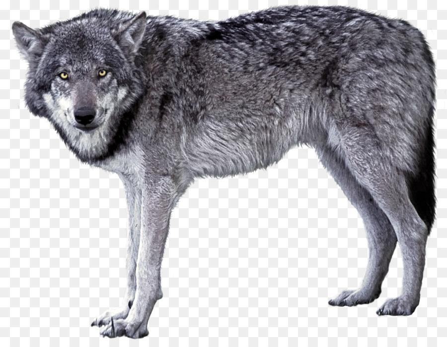 Descarga gratuita de El Lobo ártico, Deviantart, Animal imágenes PNG